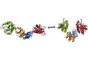 Drawing showing the two forms of the enzyme. Credit: EMBL/Rob Meijers.